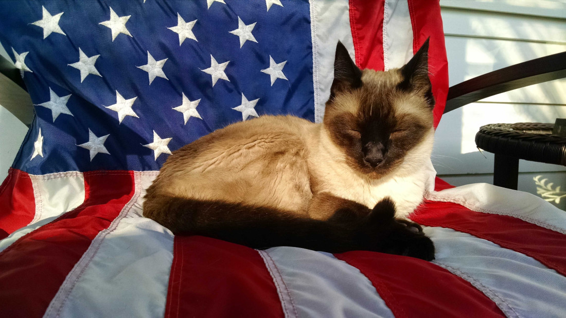 Photograph of Siamese cat sitting on American Flag