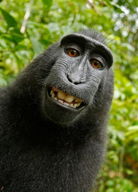 Original self-portrait by a monkey using an unattended camera